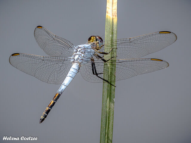 Nesciothemis farinosa, Eastern Blacktail