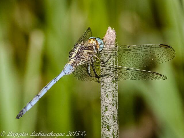 Orthetrum machadoi Highland Skimmer Male1 Haenertsburg LP RSA Dec 2015