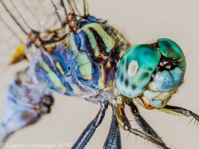 Orthetrum stemmale Bold Skimmer Male Close up Kozibay KZN RSA Mch 2019
