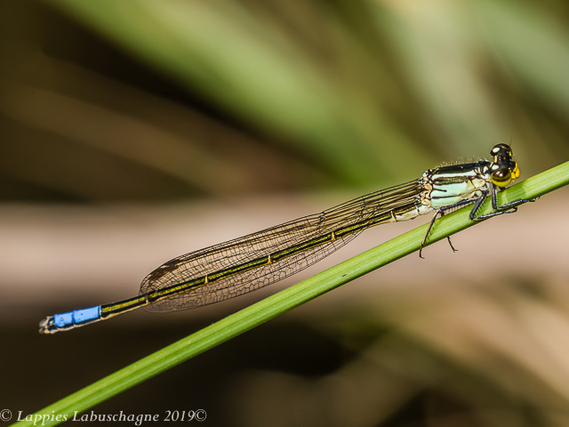100 2392 Pseudagrion gamblesi Great Sprite Male Songimvelo Nature Reserve MP RSA Febr 2019r 10