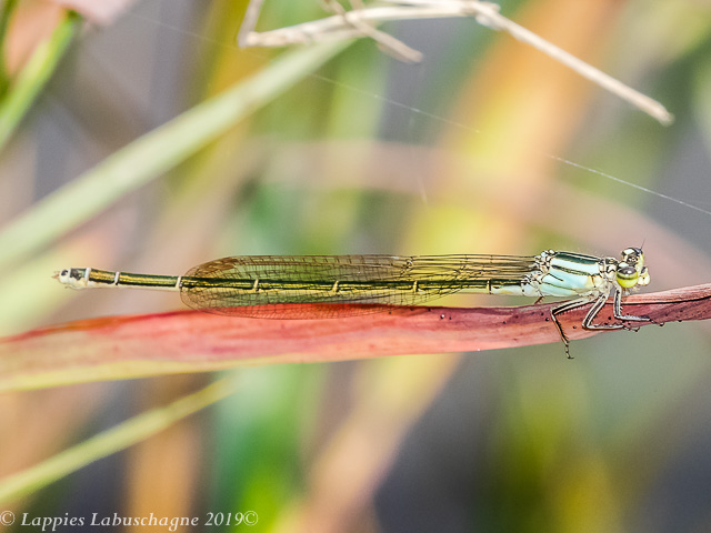100 2400 Pseudagrion gamblesi Great Sprite Female Songimvelo Nature Reserve MP RSA Febr 2019r 2