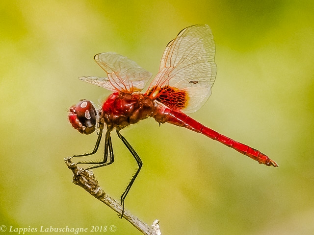 100 670 Urothemis assignata Red Basker Male Kozibay KZN RSA MCH 2018r 2
