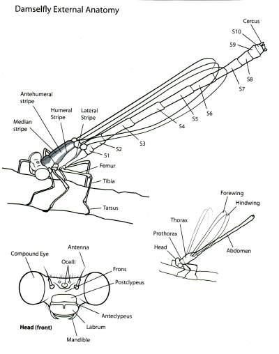 Dragonflies Damselflies